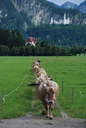 cowshomecastle.jpg