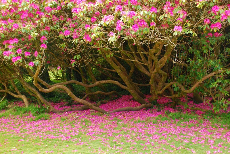 A shower of blossoms in the Muckross House Gardens