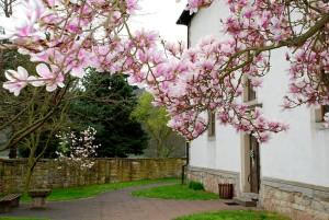 Magnolia tree near the church