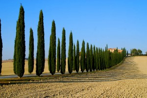 Cypress Lane near Montalcino